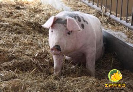 环保养猪势在必行!仙女湖景区附近猪场全部关停