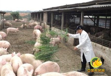 【增肥快长必看】养猪过程中添加什么中草药