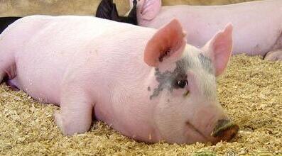养猪能从哪些方面省钱?看看补贴分类你就知道了