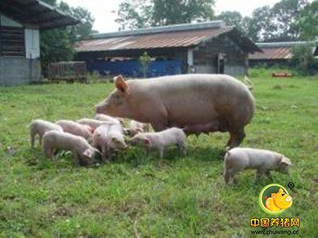 怎么增众母猪窝产仔数
