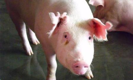 危险信号已经出现,需警惕2017年养猪行情!