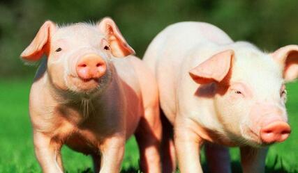 可爱的胖猪照片