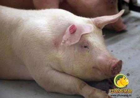 冬季养猪场保温工作,建议选择以下10种方法