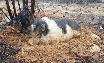 奇迹!主人逃离大火忘带宠物猪,它奇迹存活