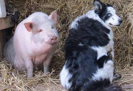 英国猪宝宝哀痛离世牧羊犬 悲伤表情令人动容