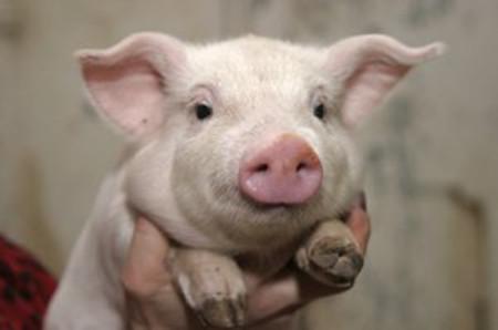 给怀孕母猪冲凉要注意啥