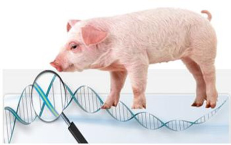 猪只常用注射方法介绍