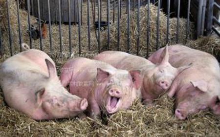 一双双隐形的手正在侵吞养猪场的利润,你中了几个?