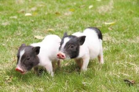 后备母猪的管理细节不可忽视!!