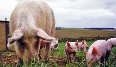 一周综述:目前猪价稳涨,冬至前后风险或来袭?