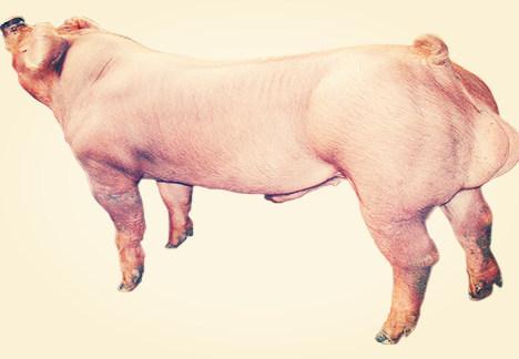 国外引入的种猪有这五个优点!