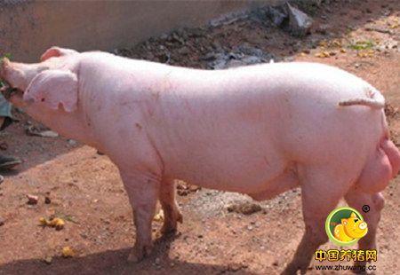 优良猪品种-长白猪,长白猪的特点