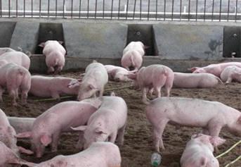 降低猪舍内的氨气排放量是解决猪舍通风和保温矛盾的根本