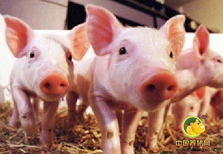你家的仔猪生长速度慢?也许是这些地方做得不合理!