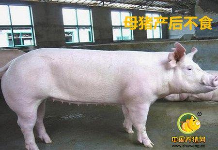 母猪产后食欲差怎么办?四大妙招轻松解决产后顽疾!