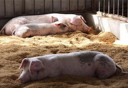养猪清粪不是简单的事,这里有清粪的三大绝招!
