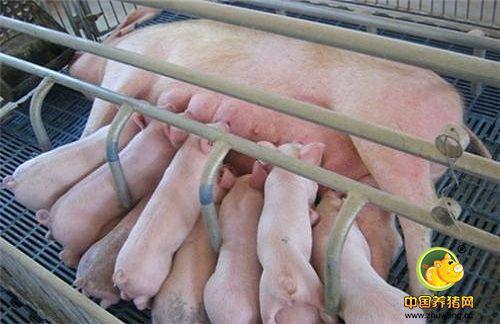猪场什么样的母猪该淘汰?