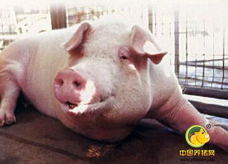 猪掉腰子的有效治疗方法