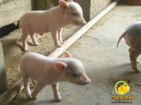 猪咬尾症的病因与治疗