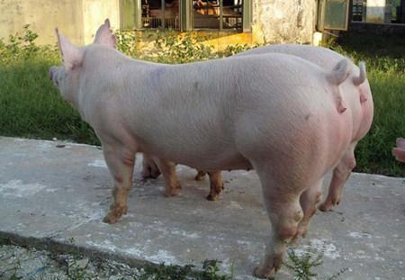 母猪发情了!看看母猪发情都有那些征兆