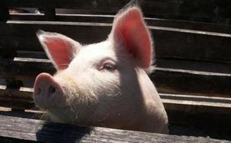 规模猪场中基因改进对猪场的意义