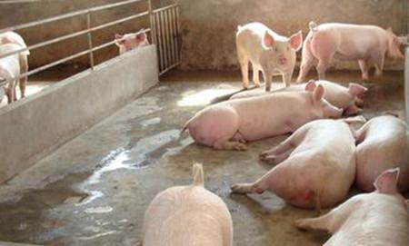 养猪业应逐渐推广母猪不阉育肥法