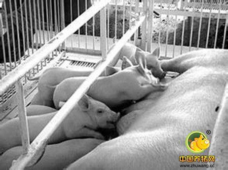 猪产仔哺乳舍生产技术管理要点