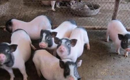 猪冬季腹泻疾病防治指南