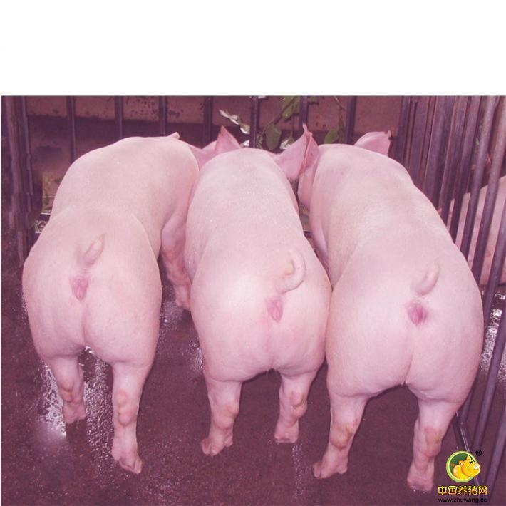 种公猪的饲粮与饲养