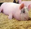 超详细!猪中毒各种症状表现和解救措施(二)
