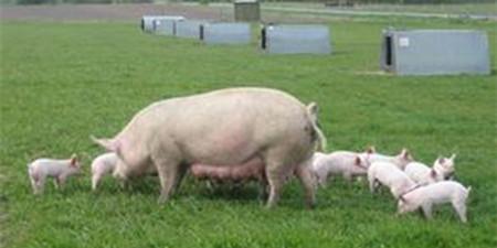 国际风向标:年终近期猪肉重要新闻大盘点