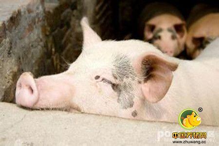 猪闹感冒有原因,三种感冒要区分