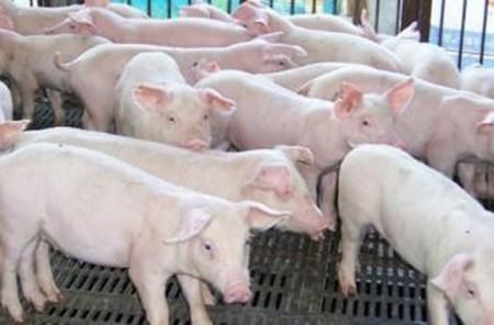 顽固腹泻性猪病的诊断