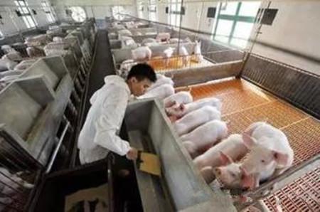如何防治猪破伤风病