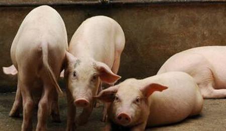 仔猪自繁的杂交模式介绍