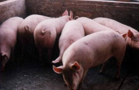 养猪场取暖防贼风,一点小改进解决大问题!