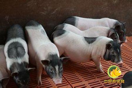 搞好冬季养猪工作应围绕御寒这个问题展开,主要掌握哪九个要领?