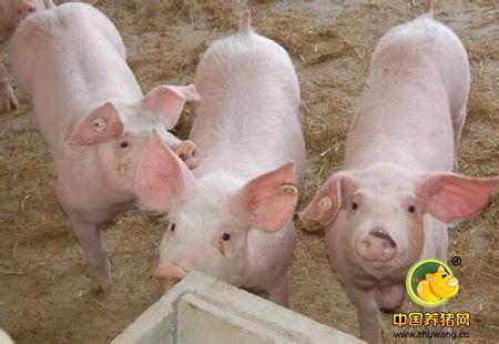 自繁自养的专业母猪养殖场的要求和特点