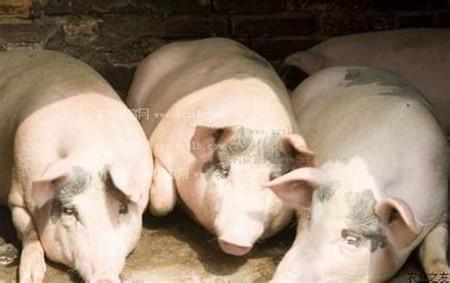 母猪假妊娠的原因及预防