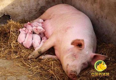 影响母猪繁殖成绩的因素
