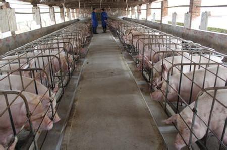 关注能繁母猪健康 谨慎应对子宫内膜炎