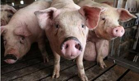 引起猪呕吐的寄生虫病及其防控