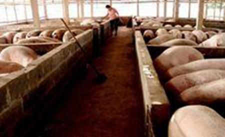 养猪场使用自动化清粪机之后的效益不可估量