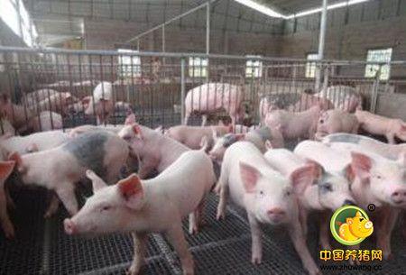 在养猪场没有完善的设备情况下,如何给猪做保温?