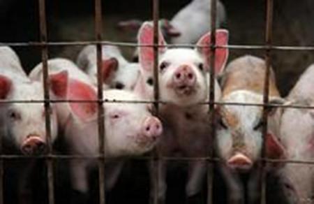提高养猪场效益有哪些值得学习的方法?