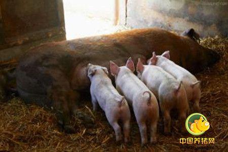 冬季养猪的十防,是哪十防?