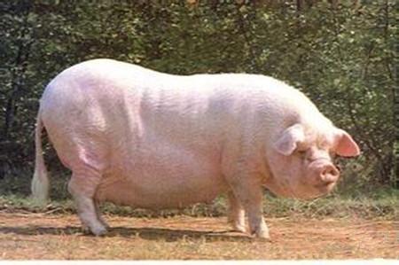 地方品种的杂种母猪