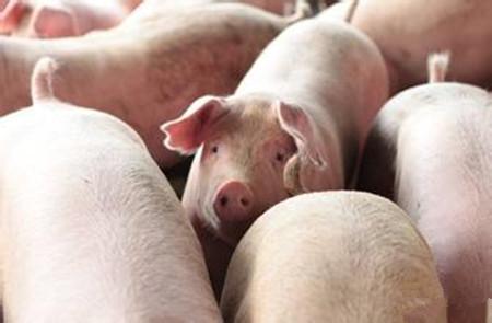 母猪发情周期和发情征状