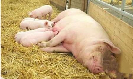 猪的人工授精的准备工作