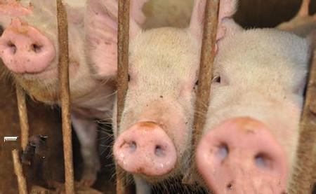 猪真杆菌病的防治方法,猪真杆菌病的症状与防治